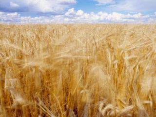Вирощування зернових сільськогосподарських культур