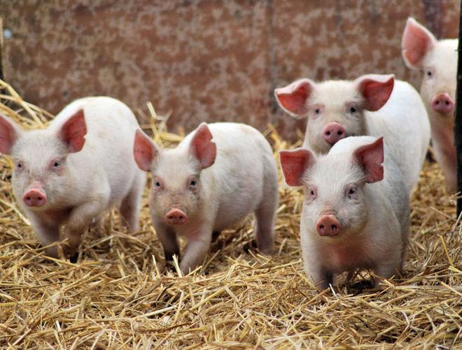 В Украине продолжают дешеветь свиньи