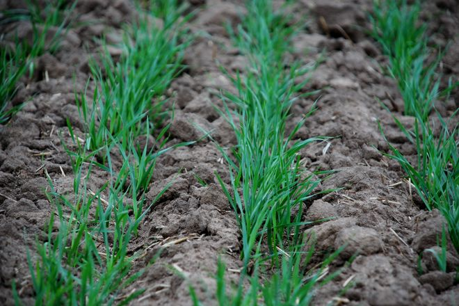 Озимые зерновые взошли почти на 100% площадей