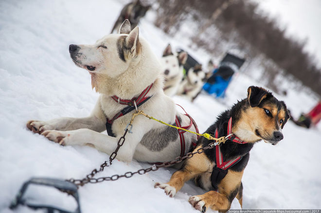 Показали собачий общественный транспорт в Норвегии