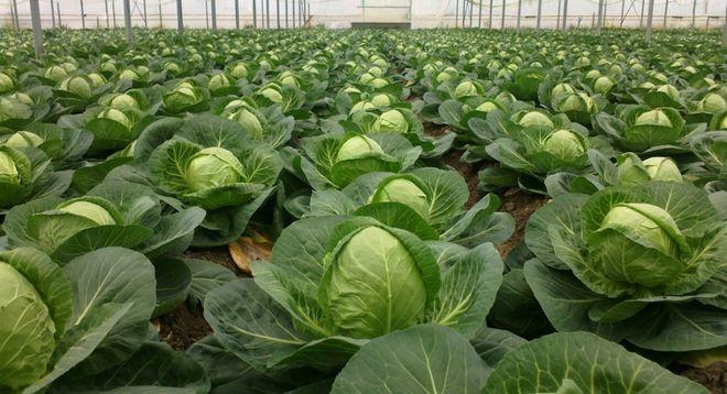 В Украине из-за Македонии рекордно обвалились цены на капусту