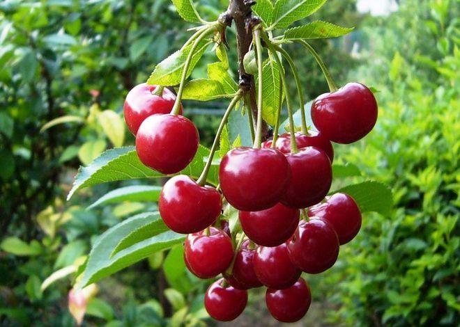 Украина может стать мировым лидером на рынке вишни