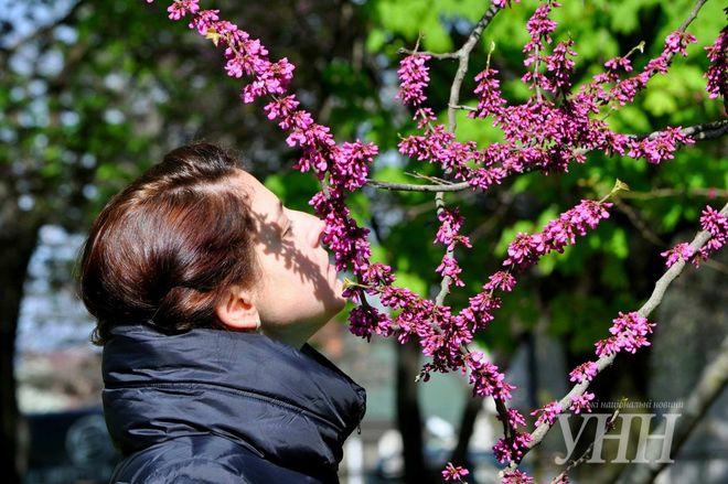 В Ужгороде расцвело Иудино дерево