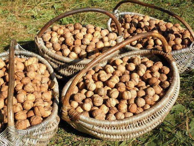 В Украине ожидают двойной рост урожая грецких орехов