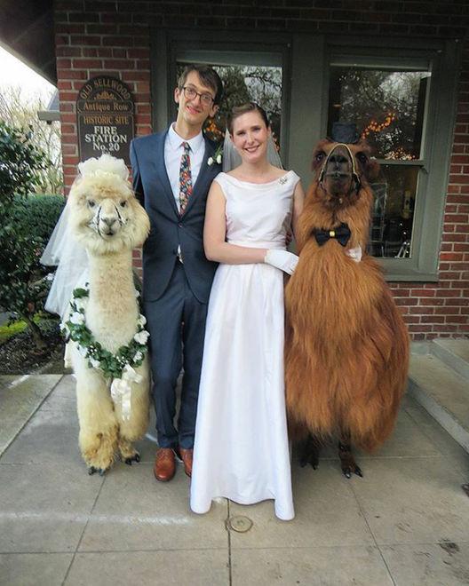 В США стало модно приглашать на свадьбу ламу