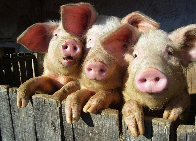 Датчане обещают нарастить продажи украинских свиней