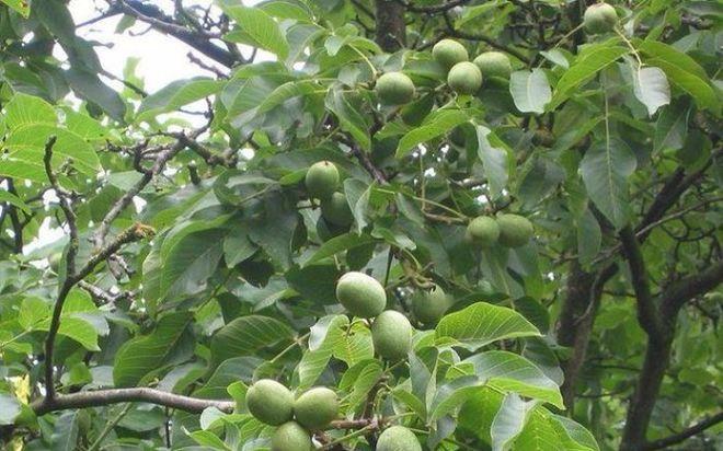 Украинский агрохолдинг начнет выращивать грецкие орехи