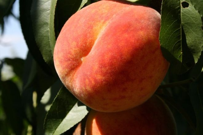 В этом году украинские садоводы предлагают персики по заниженной цене