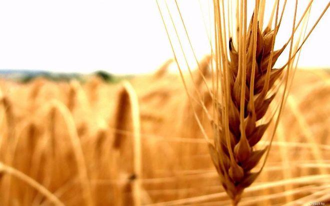 В США впервые за четыре года рекордно подорожала пшеница