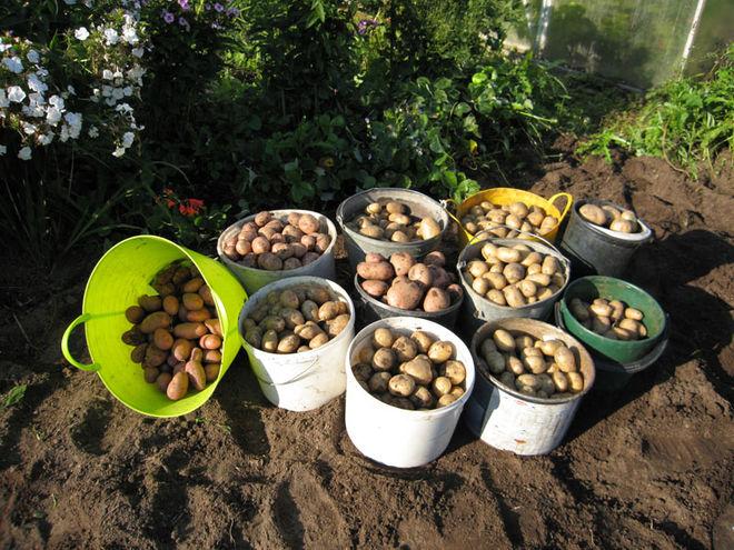 В Украине прогнозируют неплохой урожай картофеля
