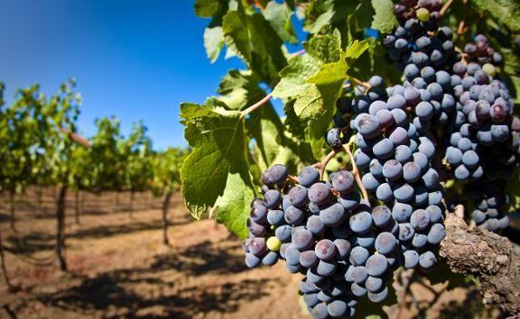 В Крыму становится меньше виноградников