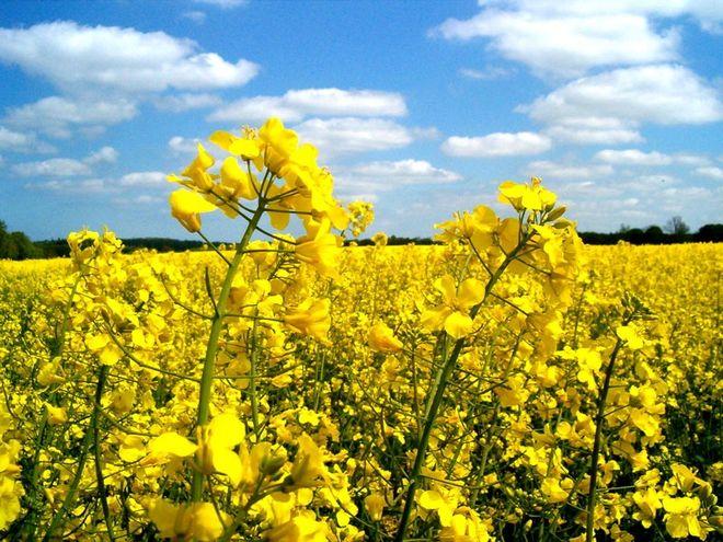 В Украине стало выгоднее выращивать рапс, чем подсолнечник