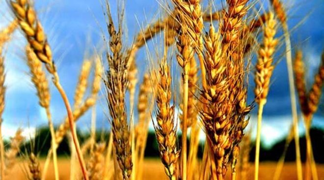 В Украине стало меньше зерна
