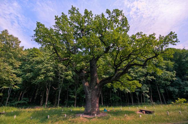 В Украине массово усыхают дуб, сосна и ель