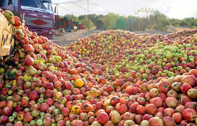 В Украине ожидают самый низкий урожай яблок за последние 6 лет