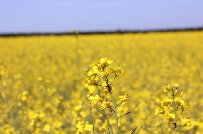 Украина вдвое увеличила экспорт рапса