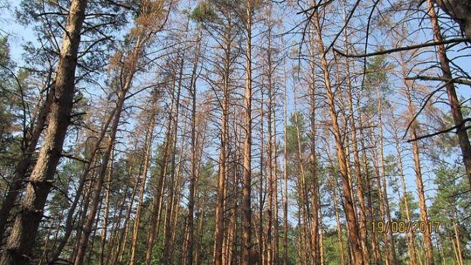 В Киевской области усыхают сосновые леса