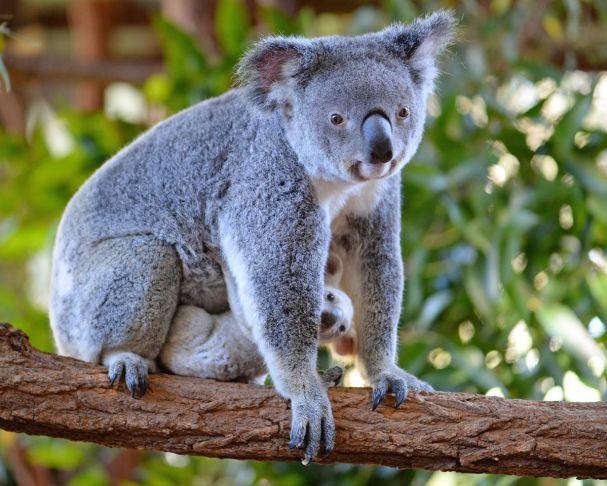 В Австралии родилась уникальная белая коала