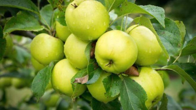 Украинские яблоки дешевеют из-за слив и винограда