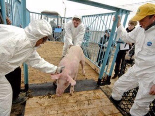 АЧС: с начала года в Украине уничтожено 26 тысяч свиней