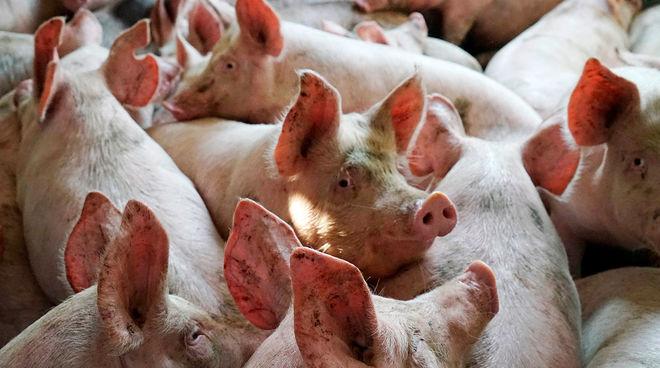 В Украине зафиксировали новые вспышки африканской чумы свиней