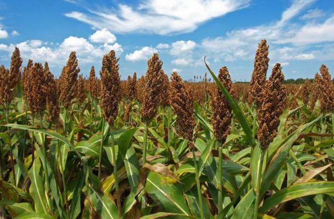 Украинские аграрии смотрят в будущее и будут выращивать сорго