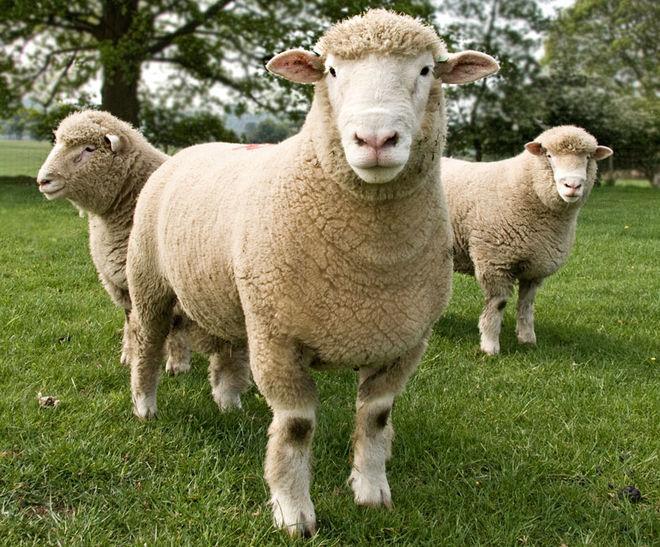Украина отправила за рубеж овец на миллион долларов