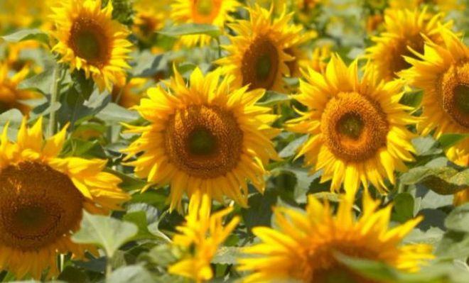 Золотая земля: что выгоднее выращивать в Украине