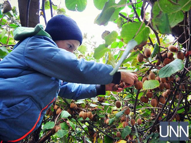 На Закарпатье стартовал сезон сбора урожая киви