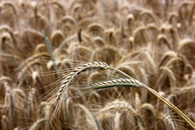 Украина почти в 20 раз нарастила объемы экспорта ржи