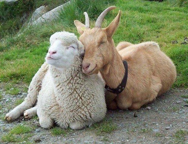 Украина в 11 раз увеличила экспорт баранины и козлятины в Ирак