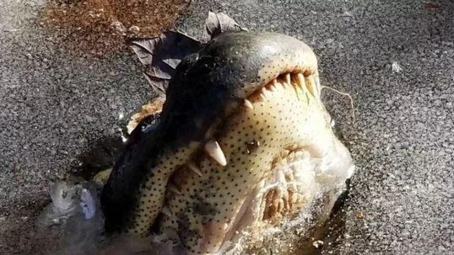 В США аллигаторы вмерзают в лед из-за аномальных морозов