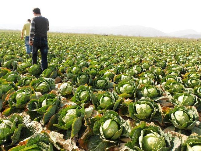В Украине рекордно подорожала капуста