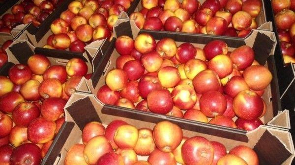 Украинские садоводы конкурируют с польскими производителями яблок