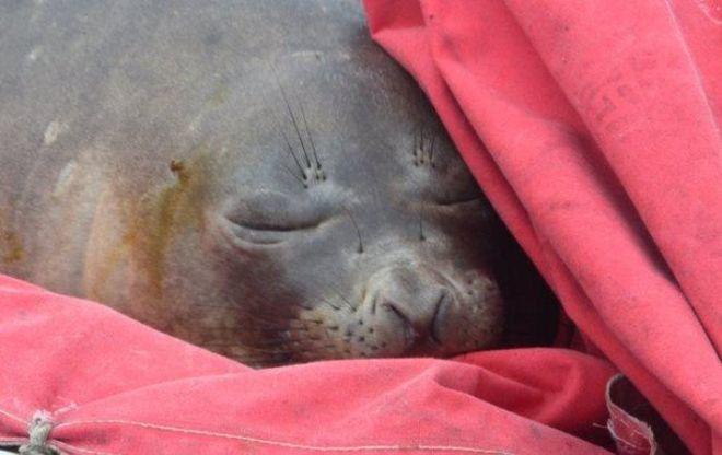 Украинские полярники обнаружили в своей лодке морского слона