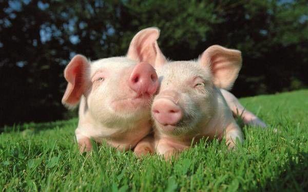 Украине передали оборудование для выявления чумы свиней
