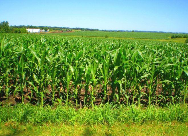 Стало известно, почему аграрии не увеличивают посевы кукурузы вопреки росту цен на нее