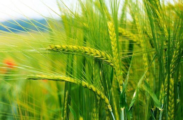 Производство продукции растениеводства останется неизменным, - ученый