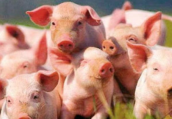 Грузия и ряд других стран охладели к украинским свиньям