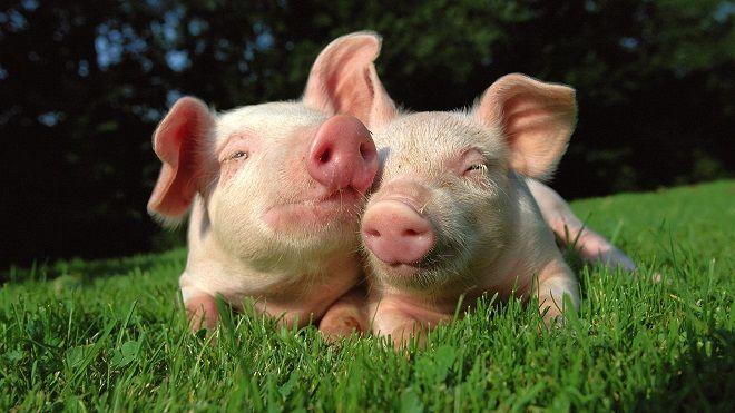 С 2020 года в Украине хотят запретить домашнюю свинину и говядину