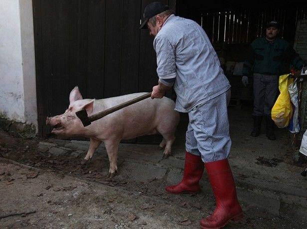 В Украине падают объемы забоя свиней, но беспокоиться не стоит