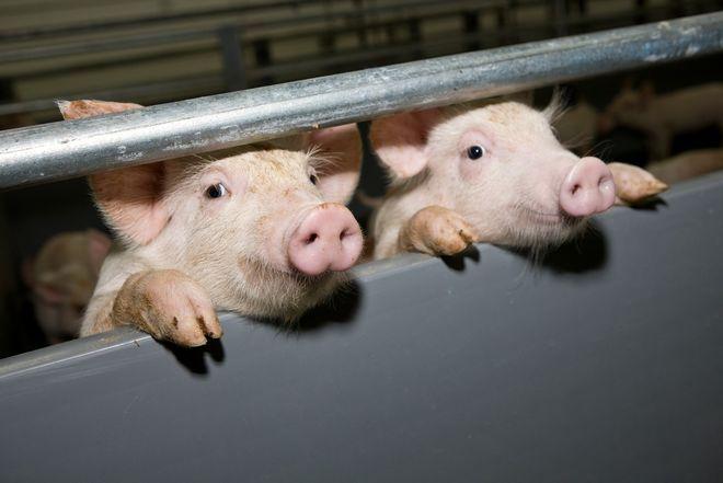 Молдаван призвали отказаться от украинского мяса: боятся африканской чумы