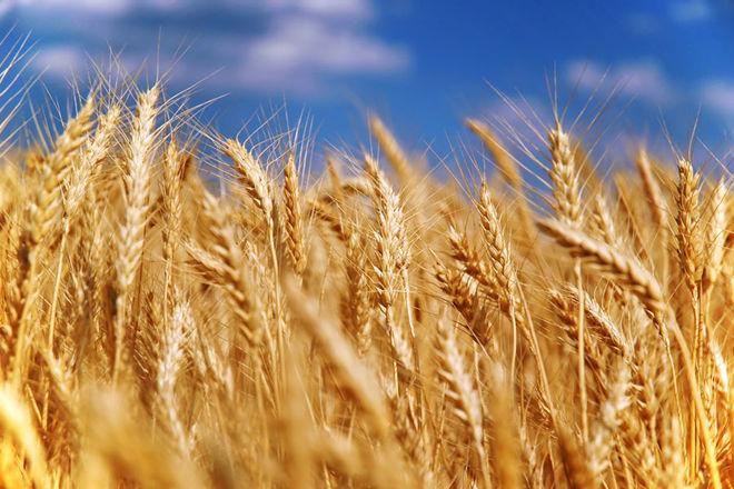 Аграрии прогнозируют увеличение урожая зерновых