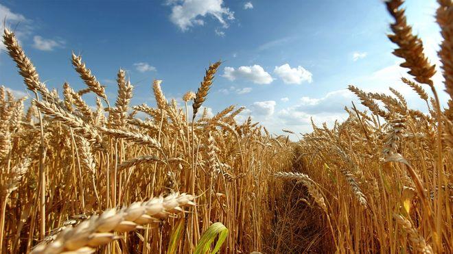 Мировое потребление зерновых может достичь рекордного уровня