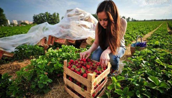 Трудовая миграция может негативно отразиться на урожае ягод и фруктов в Украине