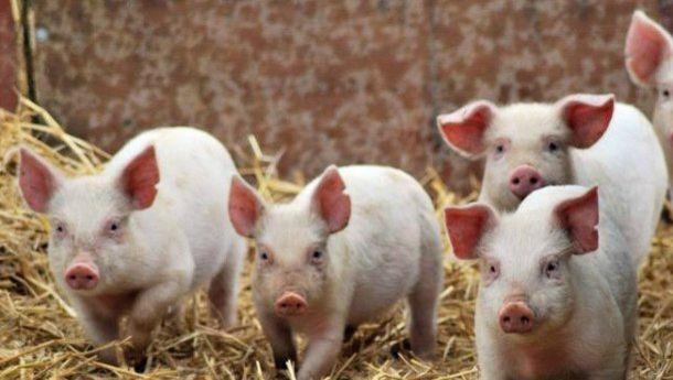В Украине подсчитали убытки от африканской чумы свиней