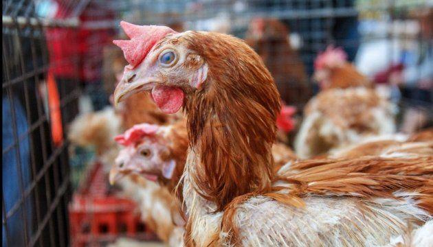 Еврокомиссия проводит оценку системы контроля за здоровьем птицы в Украине