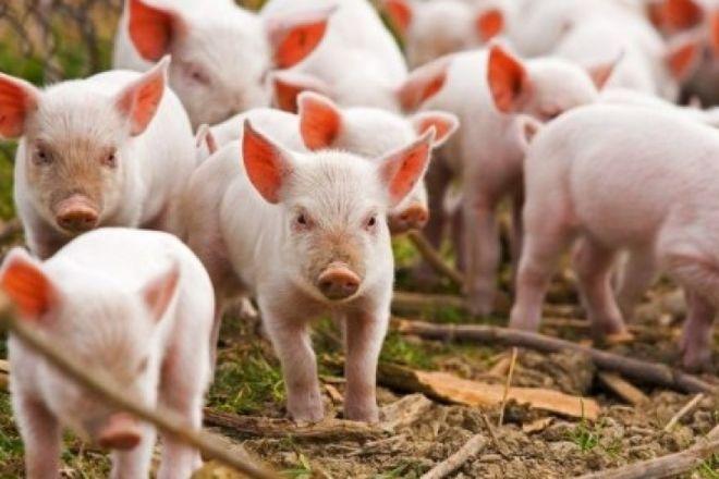 В Измаиле из-за африканской чумы свиней уничтожено больше 3 тыс. животных