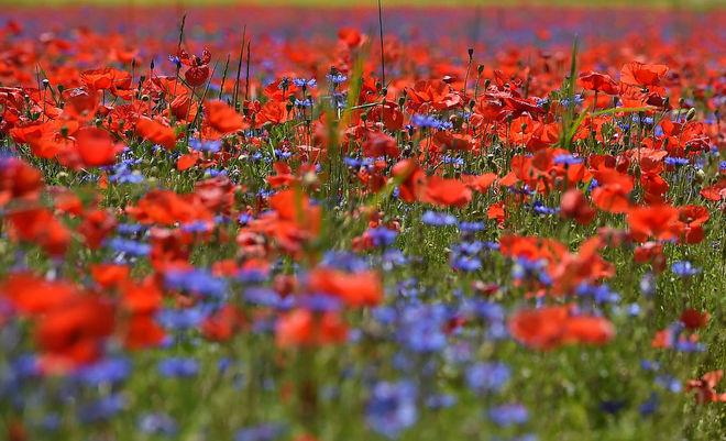 Художники показали цветущие поля Италии