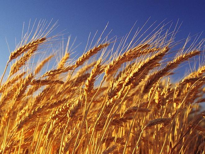 Аграрии намолотили 13 млн тонн зерна